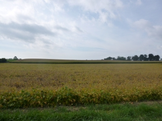 Soybeans turning yellow.
