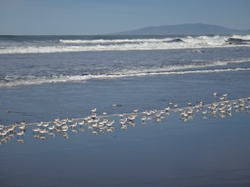Snowy Plovers, Ocean Beach.