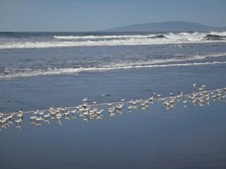 Snowy Plovers, Ocean Beach.
